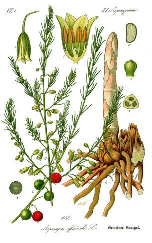 Espárrago - Asparagus officinalis -