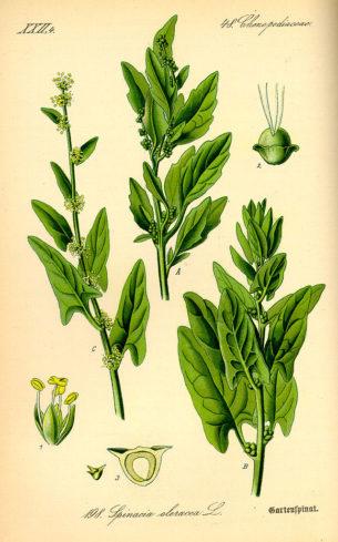 Espinaca - Spinacia oleracea -