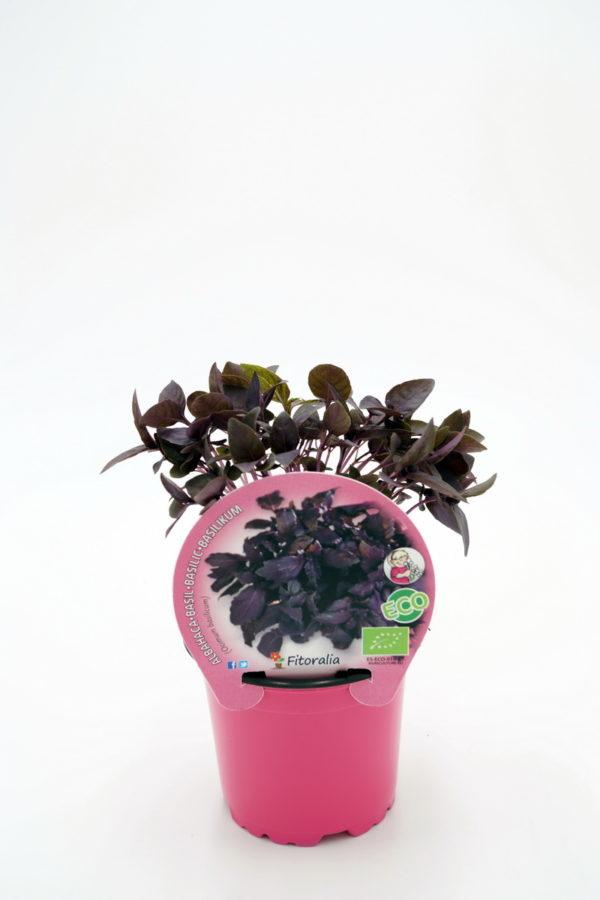 Plantel de Albahaca Púrpura