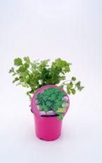 Plantel de Cilantro