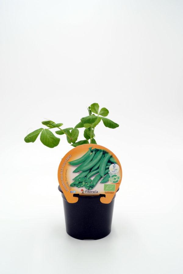 Plantel de Guisante Sugar Snap Zuccola