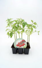 Plantel de Pack Tomate Cherry Redondo 6 Ud.