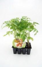 Plantel de Pack Tomate Colgar 12 Ud.