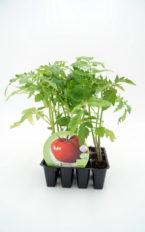 Plantel de Pack Tomate Tres Cantos 12 Ud.