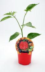 Plantel de Picante Carolina Reaper