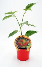 Plantel de Picante Chupetinho