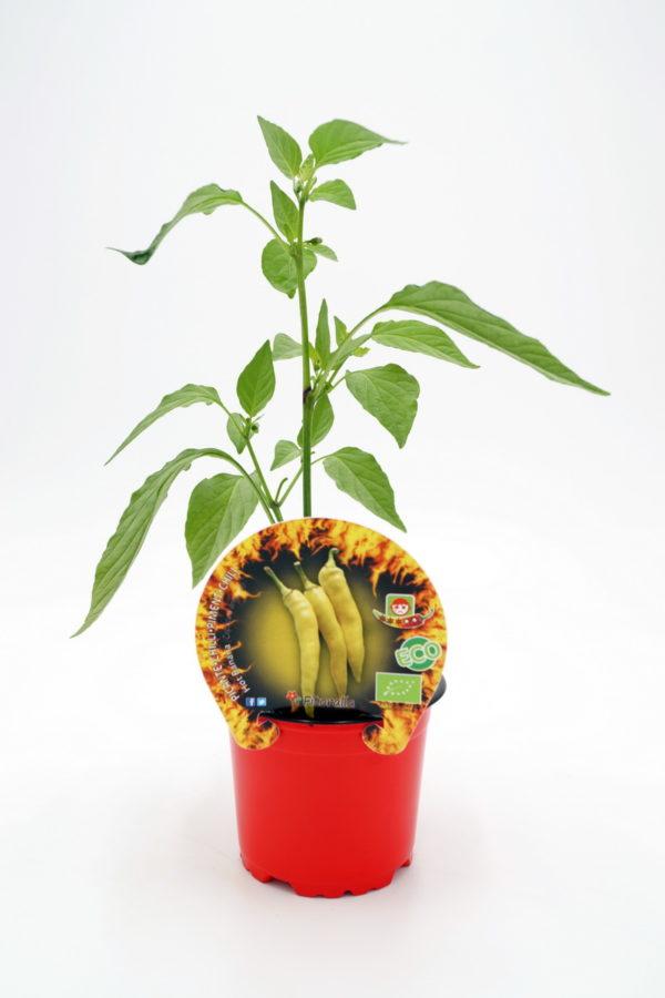 Plantel de Picante Hot Banana