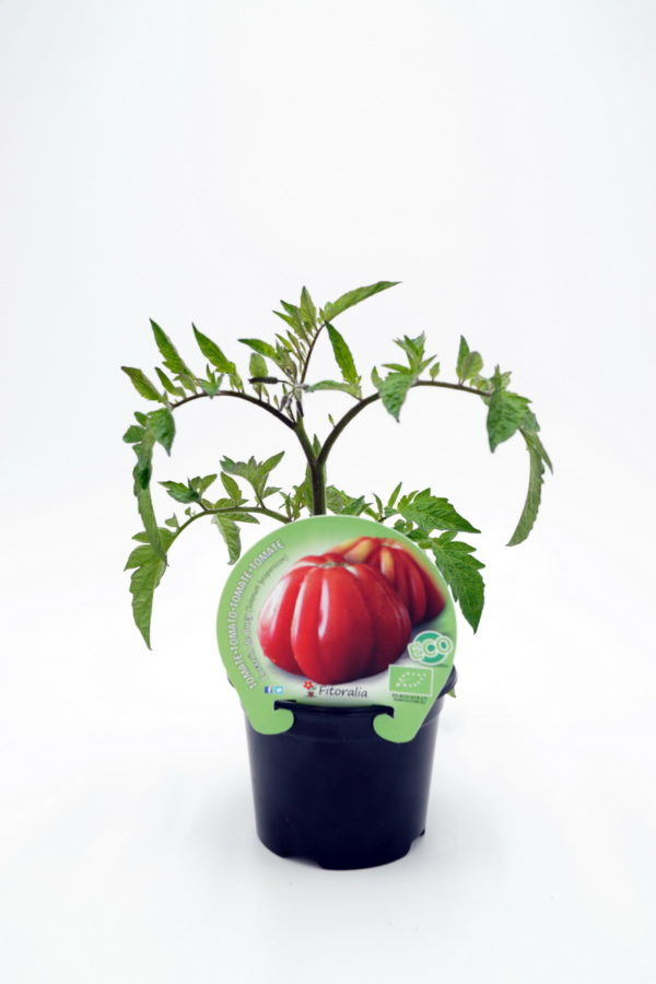 Plantel de Tomate Corazón de Buey