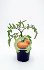Plantel de Tomate Orange Queen