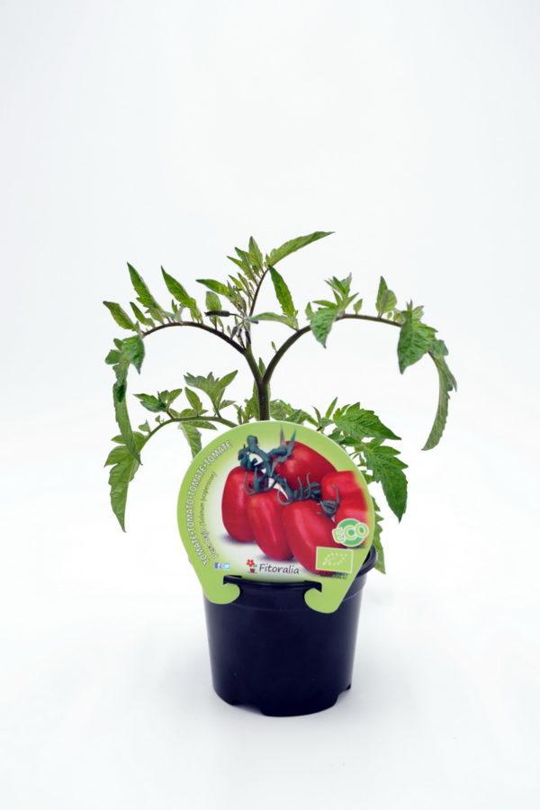 Plantel de Tomate Pera Mata Baja