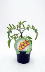Plantel de Tomate Yellow Cherry