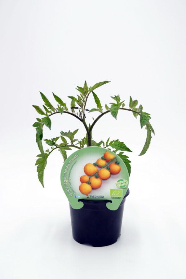 Plantel de Tomate Yellow Cherry