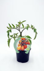 Plantel de Tomate Yellow Pear Cherry