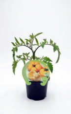 Plantel de Tomate Yellow Stuffer