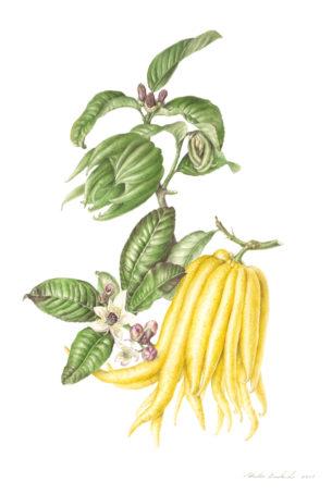 Mano de Buda - Citrus medica - sarcodactylis