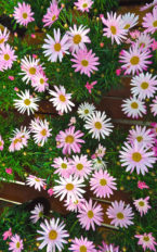Plantel de Argyranthemum frut. COLOR