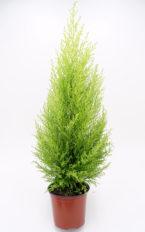 Plantel de Cupressus Macrocarpa Var. Goldcrest