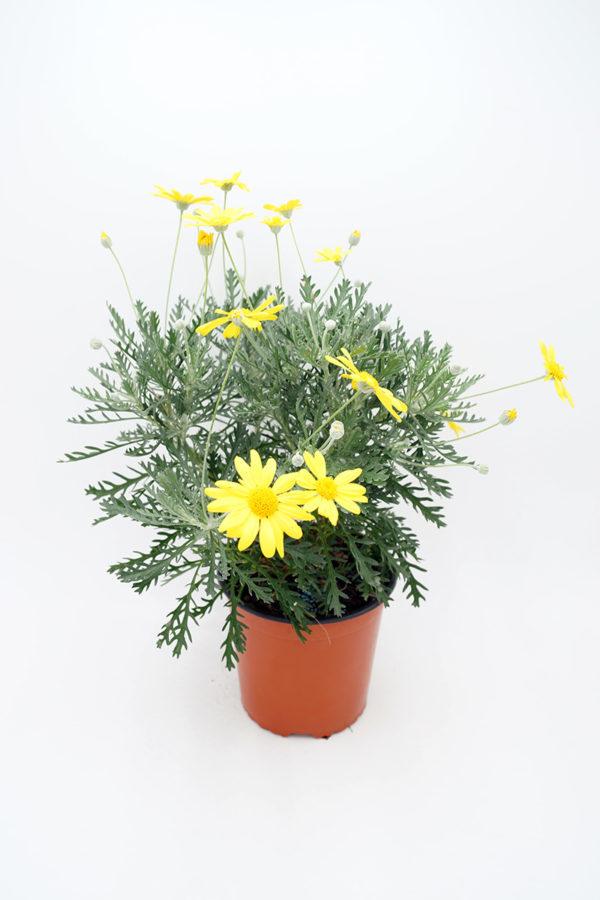 Plantel de Euryops Pectinatus