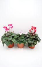 Plantel de Cyclamen Mini Fantasia