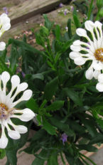 Plantel de Osteospermum Eckonis