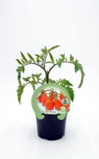 Plantel de Tomate Red Pear Cherry